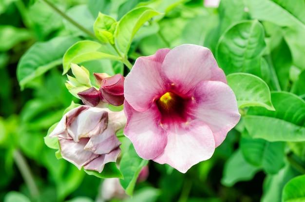 Flor tropical rosa adenium.