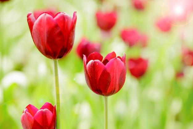 Flor tulipa florescendo no campo