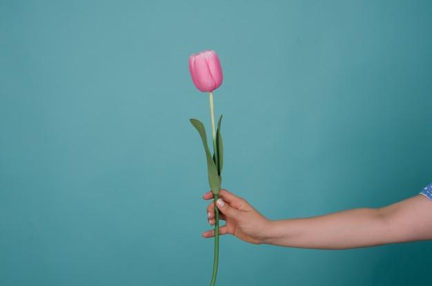 Flor tulipa na mão de uma mulher isolada em azul