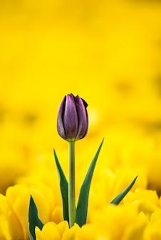 Flor tulipa roxa com flores amarelas