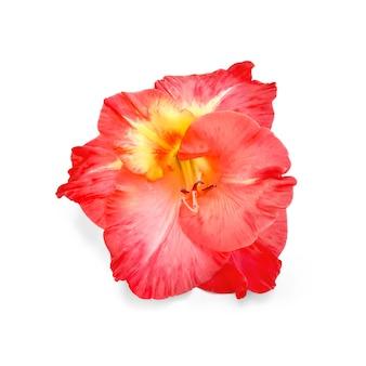 Flor única de gladíolo vermelho isolada no fundo branco