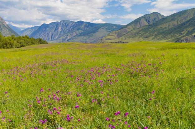 Flor, vale, em, montanhas, altai