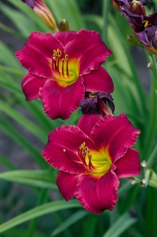 Flor vermelha daylily, hemerocallis no jardim de verão