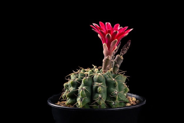 Flor vermelha de close-up de uma planta de cacto gymnocalycium baldianum isolada no fundo preto.