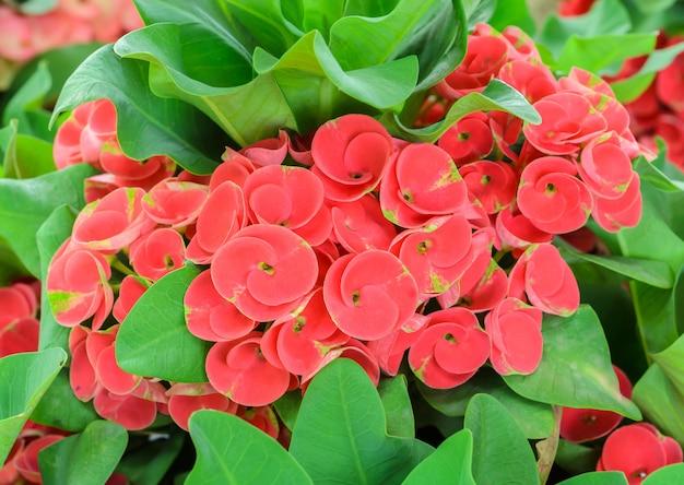 Flor vermelha de eufórbio milii ou coroa de espinhos de flores