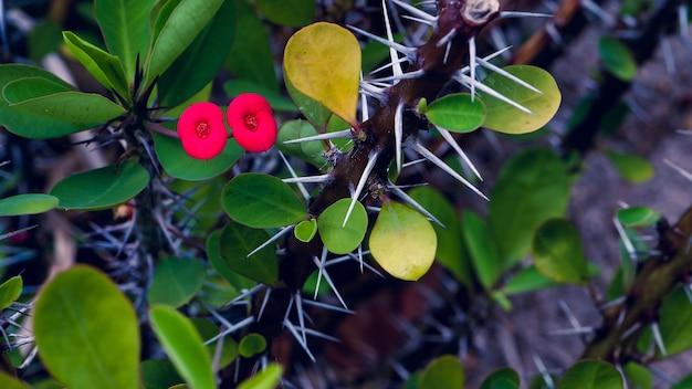 Flor vermelha de euphorbia milii, koh tao, tailândia