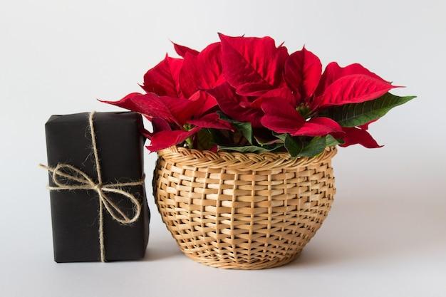 Flor vermelha de poinsétia de natal em uma cesta de madeira com presente embrulhado preto na superfície branca.