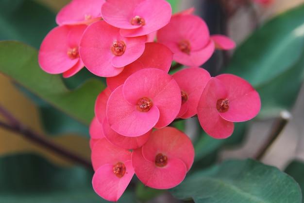 Flor vermelha, euphorbia milii