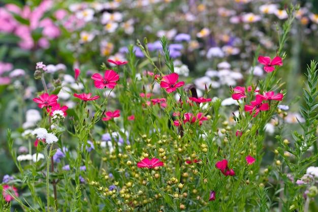 Flor vermelha linum usitatissimum no jardim de verão.
