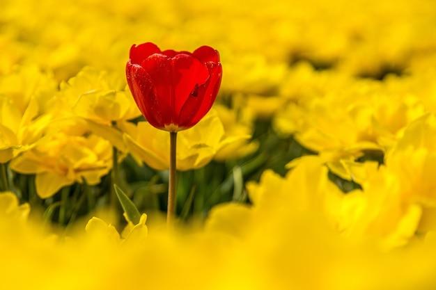 Flor vermelha rodeada de flores amarelas durante o dia