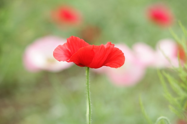 Flor vermelha única
