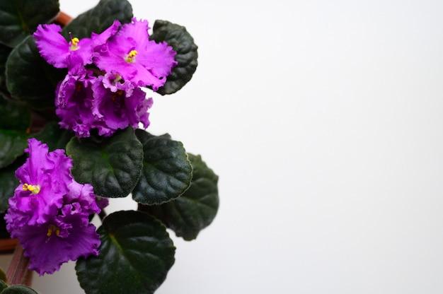 Flor violeta africana de florescência do saintpaulia roxo no potenciômetro de flor isolado no fundo branco, vista superior. símbolo de afetividade e fidelidade