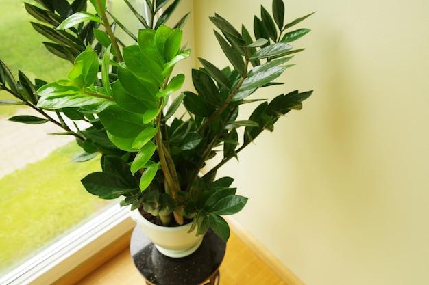 Flor zamioculcas em vaso zamioculcas zamiifolia closeup