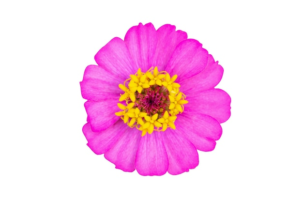 Flor zinnia close-up isolada no fundo branco