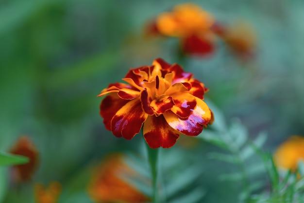 Flor zinnia com cor amarelo-marrom em um plano de fundo esmeralda, macro. fundo floral Foto Premium
