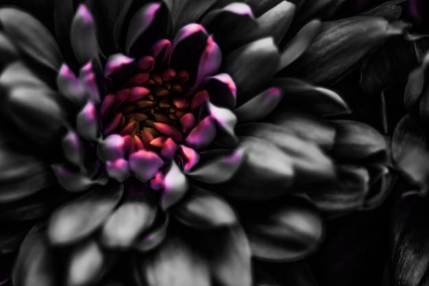 Flora, marca e conceito de amor, pétalas de flores de margarida negra em flor, arte de flor floral abstrato de volta ...
