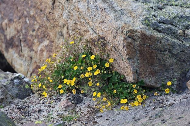 Flora na encosta do monte elbrus, no norte do cáucaso, na rússia