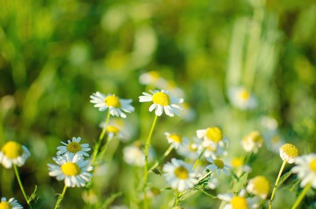 Floração. camomila. florescendo campo de camomila, flores de camomila em um pasto no verão
