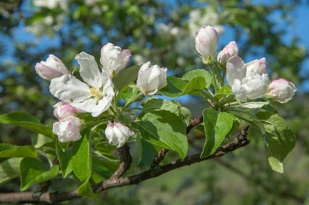 Floração da macieira. galho de macieira com flores da primavera.