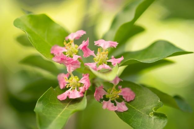 Floração das cerejeiras acerola na tailândia. árvores de flor de cerejeira acerola, foco selecionado, foco suave.