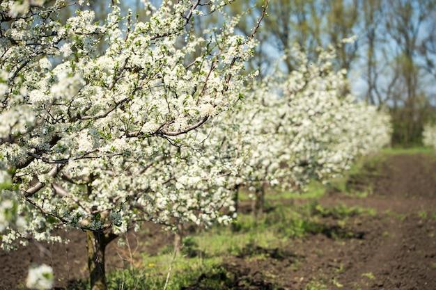 Floração de árvores e galhos no pomar de maçãs