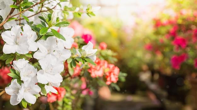 Floração de azáleas coloridas em vasos de flores na velha estufa em dia ensolarado.