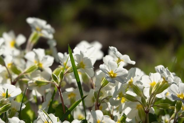 Floração de margaridas