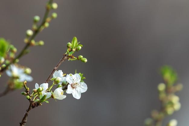 Floração de primavera de árvore frutífera
