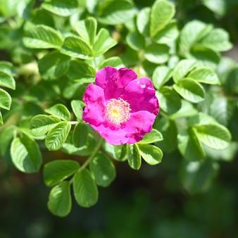 Floração de roseira brava