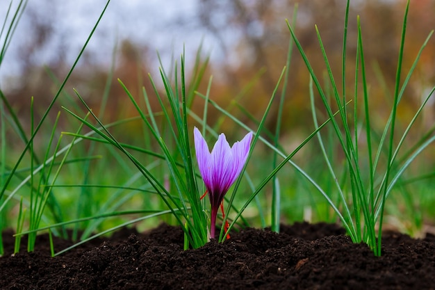 Floração do açafrão. única planta de açafrão em solo preto.