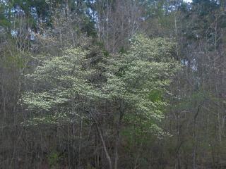 Floração dogwood
