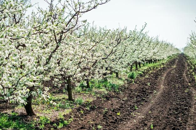 Floração no pomar de maçãs