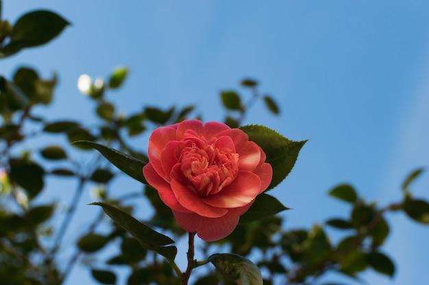 Flore camélia delicada contra um céu azul