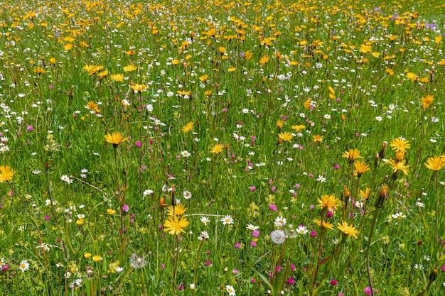 Flores alpinas em um prado nas dolomitas, na itália