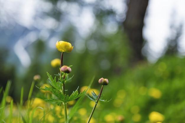 Flores amarelas alpinas ou globeflowers também conhecidas como trollius europaeus na suíça