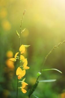 Flores amarelas bonitas do cânhamo de sun ou fazenda do juncea do crotalaria na luz solar bonita. um tipo de leguminosa.