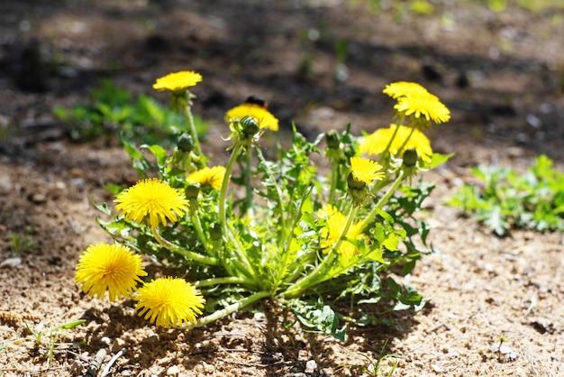 Flores amarelas brilhantes, folhas e dentes de leão broto na planta da natureza da primavera.