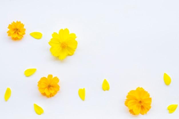 Flores amarelas claras em fundo branco