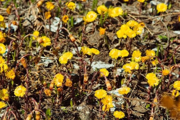 Flores amarelas coltsfoot