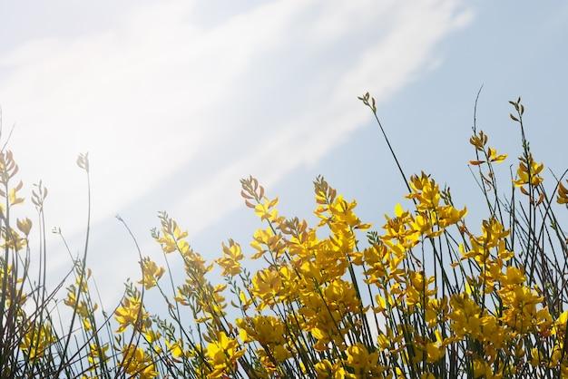 Flores amarelas contra um céu azul com uma nuvem e um sol forte