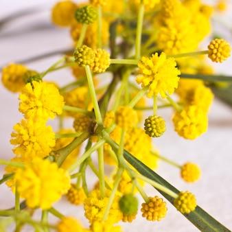 Flores amarelas da mola da mimosa. macro, foco seletivo