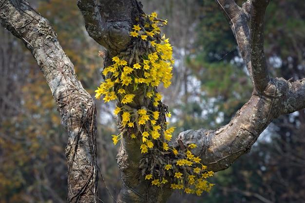 Flores amarelas da orquídea em estado selvagem.