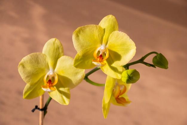 Flores amarelas da orquídea em uma parede marrom-clara