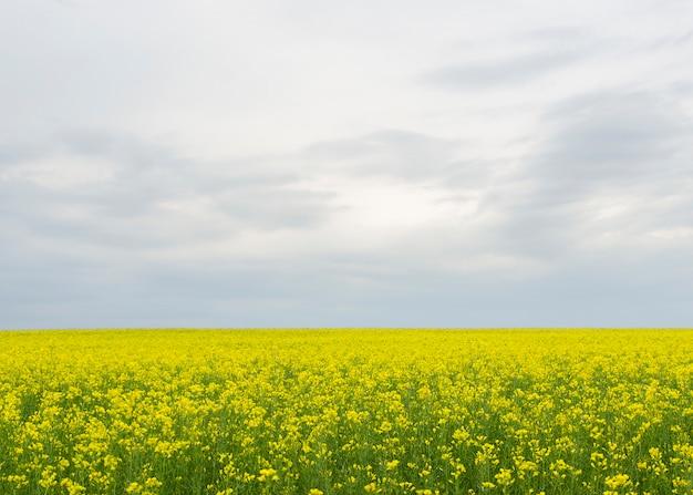 Flores amarelas de colza (lat. brassica embebedam-se) contra um céu azul