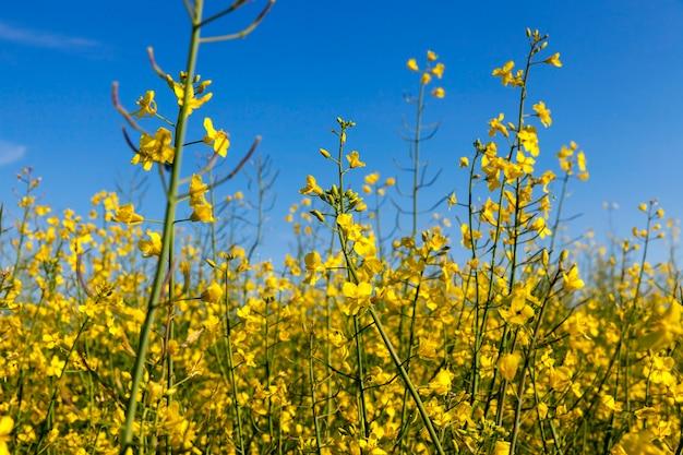 Flores amarelas de estupro, fotografadas em uma superfície de céu azul, profundidade de campo rasa