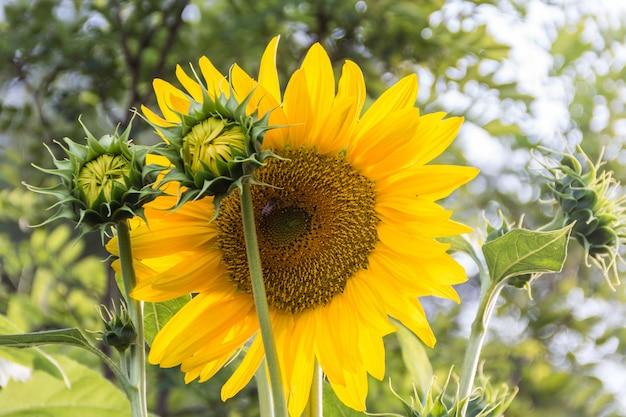 Flores amarelas de girassol cultivadas no jardim da casa