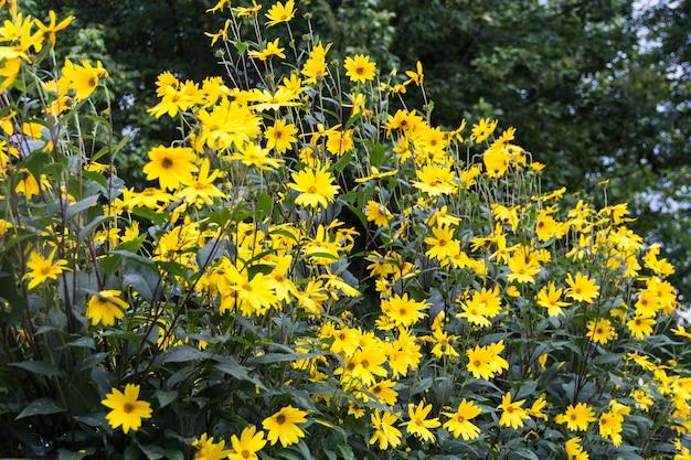 Flores amarelas de girassol de jardim, helianthus tuberosus ou alcachofra de jerusalém