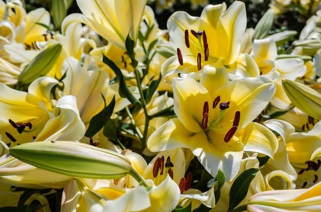 Flores amarelas de lírio durante o dia ao ar livre