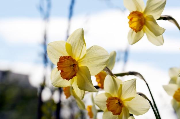 Flores amarelas de narcisos durante a floração