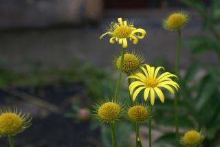 Flores amarelas, de plantas, no verão